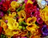 flower_freesia
