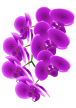 orchid-flower3