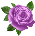 Purple_Rose_Transparent_PNG_Clip_Art-154345822